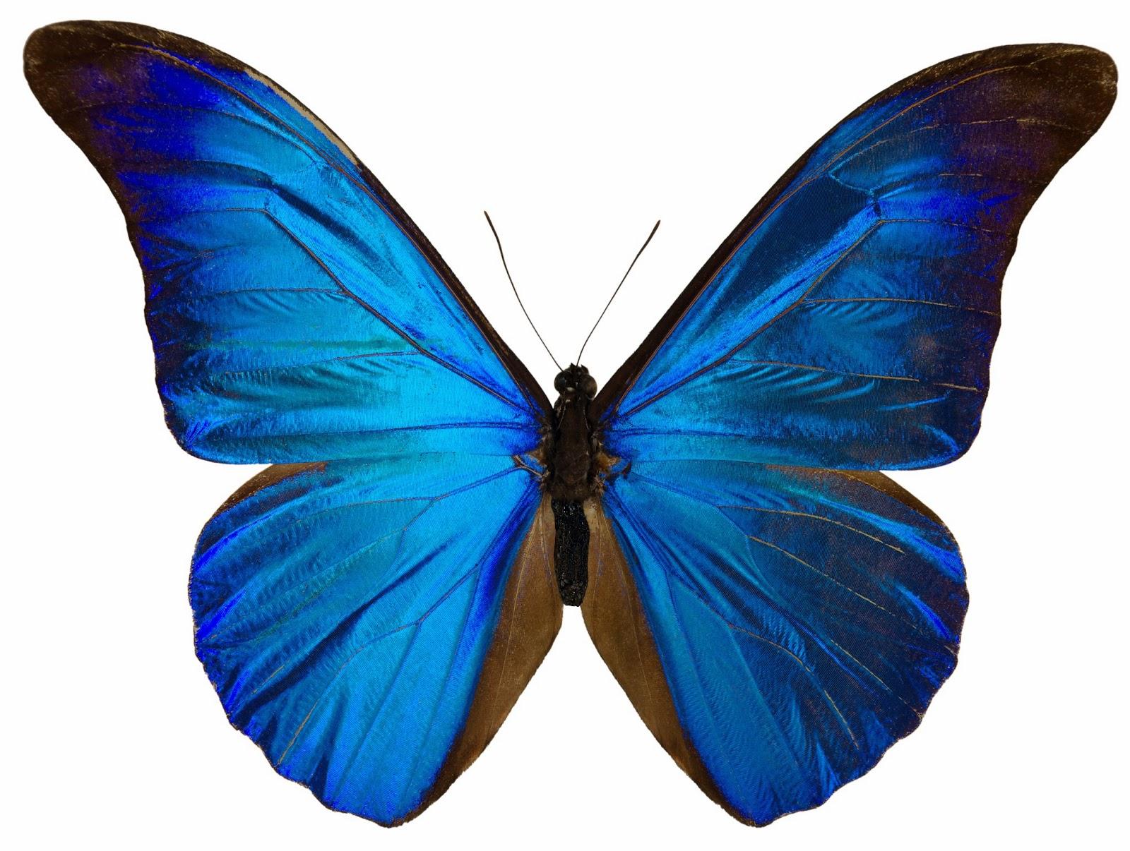 Risultato immagine per farfalle
